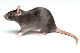 rodent Pest Control Melbourne services