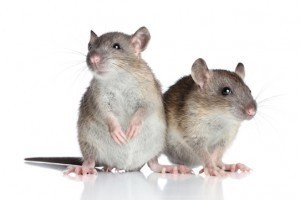 rodents and rat infestation pest control services